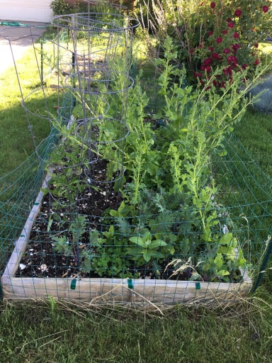 a 6 inch tall raised bed with 5-6 tomato plants in cages and some weedy looking chard and small kale seedlings surrounded by a chicken wire fence. Some hedge roses are in the background