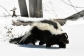 skunk on snowy ground