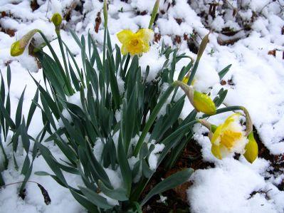 Spring-snow-flowers-daffodil1_-_West_Virginia_-_ForestWander